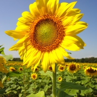 Sussex County Sunflower Maze
